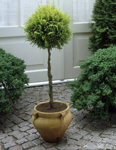 Säulenzypresse als Kugel-Stämmchen, 1 Pflanze G...