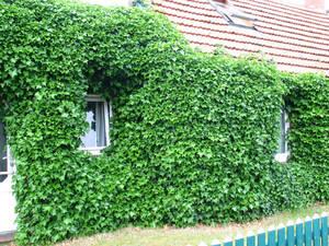 Irischer Efeu, 5 Pflanzen GartenMeister