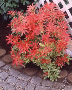 Japanische Lavendelheide Feuertanz, XXL-Qualitä...