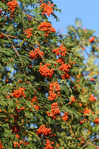 Eberesche (Vogelbeere) - 2 Pflanzen GartenMeister Preisvergleich