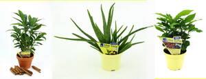 Pflanzen Set, 3tlg: Zimt-Aroma, Aloe vera Sweet...