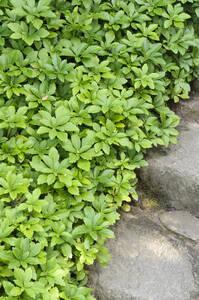 Bodendecker Dickmännchen, 5 Pflanzen GartenMeister