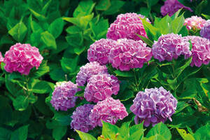 Rhododendron Dünger 1 kg - auch für Azaleen und Hortensien Gabi