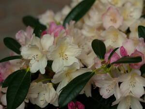 Rhododendron, 2 l, weiß/cremeweiß blühend, 3 Pf...