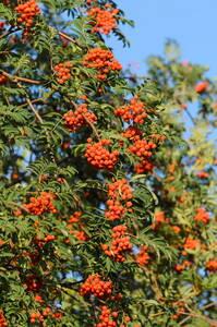 Eberesche, Vogelbeere, trägt rote Beeren, 1 Pflanze GartenMeister