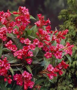 Weigelie Bristol Ruby® rot blühend 1 Strauch 2 l Topf GartenMeister