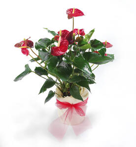 Flamingo-Blume Anthurie, im Deko Topf, rot blüh...