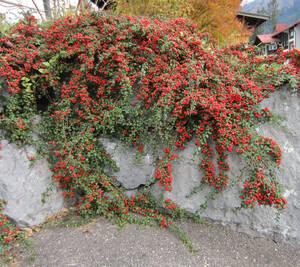 Cotoneaster dammeri, bodendeckend, 3 Pflanzen G...