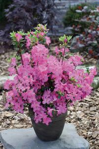 Japanische Azalee Petticoat (Rhododendron obtus...