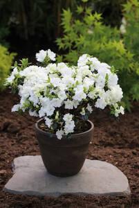 Japanische Azalee Schneeperle (Rhododendron obt...