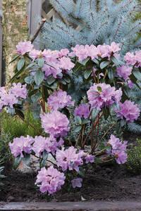 Rhododendron praecox, XXL-Qualität, 1 Pflanze G...