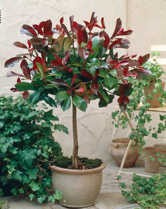 Glanzmispel Kugelstämmchen Red Rubin, 1 Pflanze...