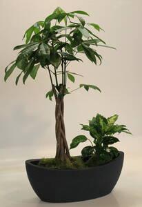 Westfalia-Das Spezialversandhaus Pachira-Schalen-Set II, je 1 Pflanze Pachira und Dieffenbachia + 1 Kunststoff Umtopf Westfalia
