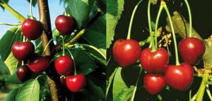 Kirschbaum Set, je 1 Pflanze Süßkirsche Silvia ...