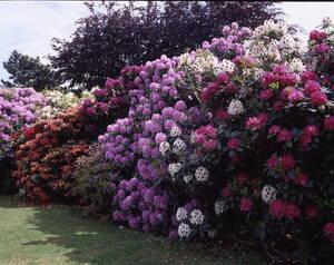 Rhododendron, weiß/creme blühend, 3 Pflanzen Ga...