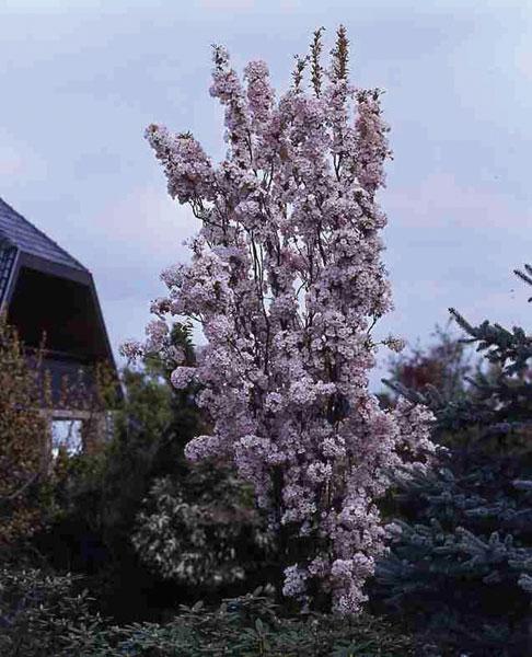 japanische s ulenzierkirsche 1 pflanze bei westfalia versand deutschland. Black Bedroom Furniture Sets. Home Design Ideas