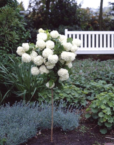 schneeball st mmchen wei bl hend 1 pflanze bei westfalia versand deutschland. Black Bedroom Furniture Sets. Home Design Ideas