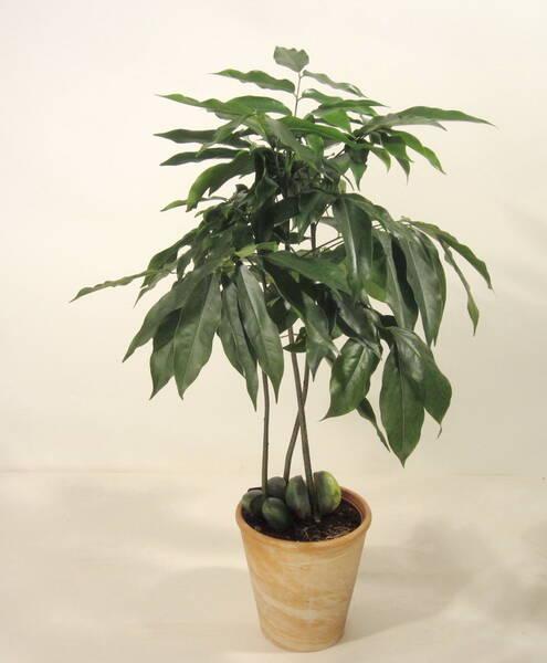 australische kastanie 1 pflanze bei westfalia versand. Black Bedroom Furniture Sets. Home Design Ideas